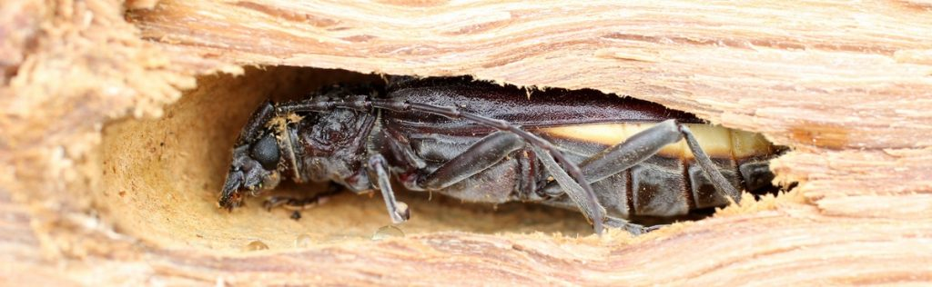 Insectes parasites du bois