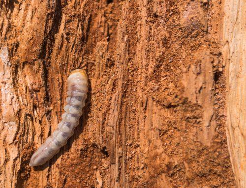 Traiter les bois attaqués par les insectes